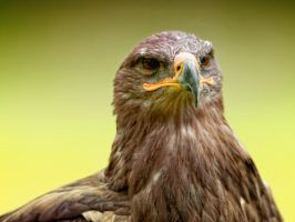 eagle_XV by deoroller