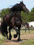 Breed. Friesian by Equine-Association