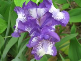 my 1st bearded iris of 2010 a by crazygardener