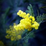 Mimosa by anneclaires