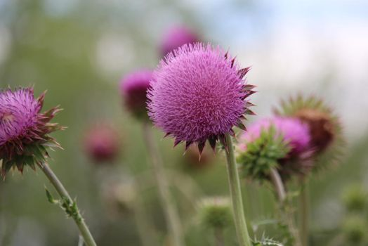 Thistle - More Purple Poofs by MoozieBerry