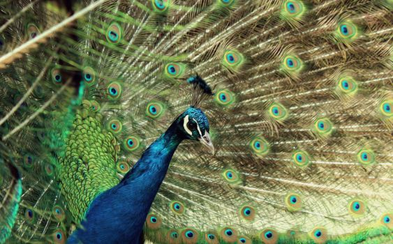 Peacock by SinchenSmiles