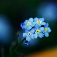 .forget-me-not. by Kaja-kgr