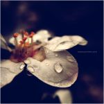 tears of a flower by C4M30