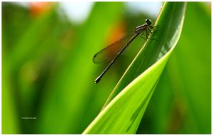 Fly Fly Dragonfly by milagros23