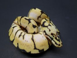 2012 Female Bumblebee Ball Python by ReptileMan27