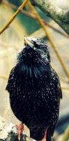 Wildlife Bookmark: Starling by Cherry-Cheese-Cake