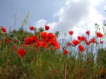 Coquelicots 4 by Flore-stock