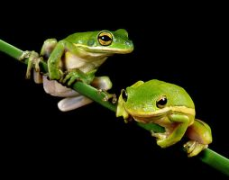 Frogs by TeoJade