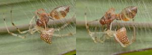 Comb Footed Spider by melvynyeo