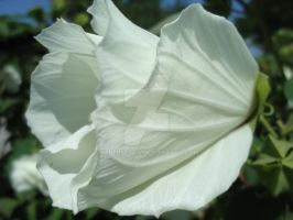 Sparkling White Petals by CyberShots