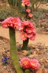 Flying Saucer Hybird Torch Cactus by Mammoth-Hunter