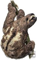 Brown-Throated Sloth by rogerdhall