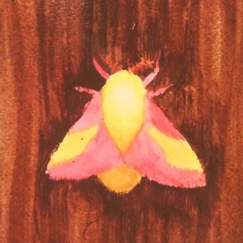 Rosy Maple Moth by Lolita-Clover