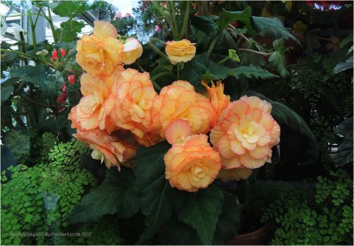 Orange Begonias by kayandjay100