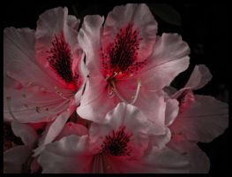 Up close rhodies edit by natsyk by snoogaloo