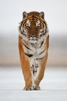 Siberian Tiger 16 by catman-suha