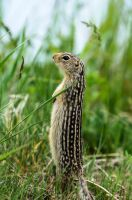 13 Lined Ground Squirrel - Alert by JestePhotography