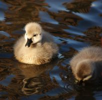 Cygnets 2 by Ember-Lee