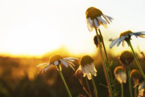 Sunset Camomile by sztewe