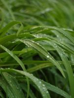 Wet Lily Leaves 02 by botanystock