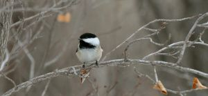 chickadee by contemporaryhart