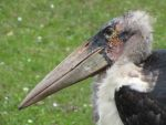 Marabou Stork 03 by animalphotos