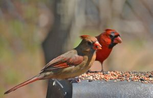 Pair of Cardinals by Tailgun2009