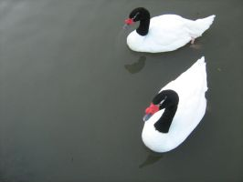 Black-Headed Swans by angelofmusicuk