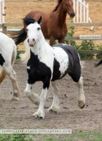 Traditional Gypsy Cob Stock 2 by s-uperflu0us