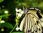 Papilio clytia by Asslessness