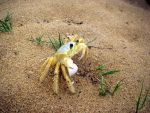 Sand Crab by skippern