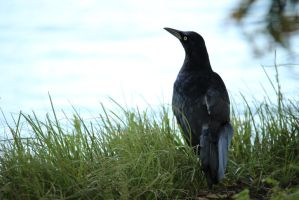 Grackle Near The Water by kwuus