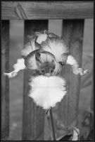 colorless flower by angel739