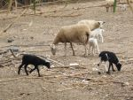 Goats 1 by Caltha-stock