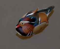Male Mandarin Duck by jsmith-jc1