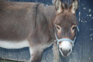 Donkey2 by EquestrianPassion