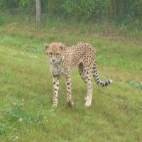 Zoo cheetah by Tap-Photo-and-Co