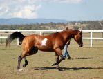 GE arab pinto trot side by Chunga-Stock