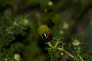 the lady bird 2a by speed-demon