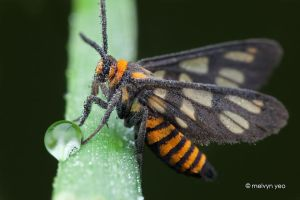 Wasp Mimic Moth, Amata huebneri by melvynyeo