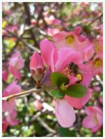 Bee in Pink Blossoms by jimwcolllins