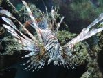 Lionfish by Shippochan1000