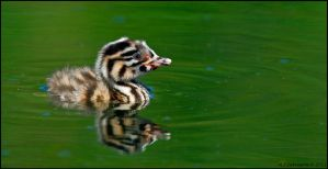 Great Crested Grebe Chick by andy-j-s