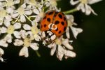 ladybug on white flowers by YvdlArt