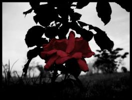 red rose silhouette by vertis