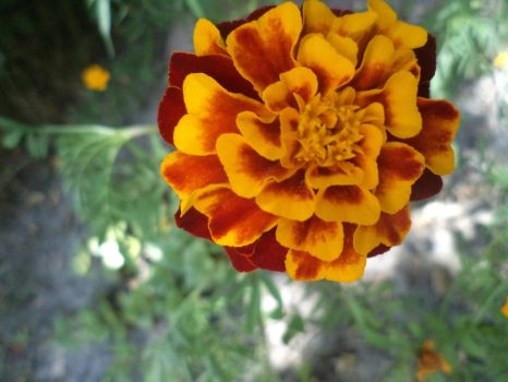 Marigold by Charmer16