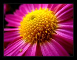 Pink and yellow flower by MichelleMarie
