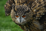 angry owl by Pherios