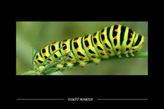 Caterpillar by tomsumartin
